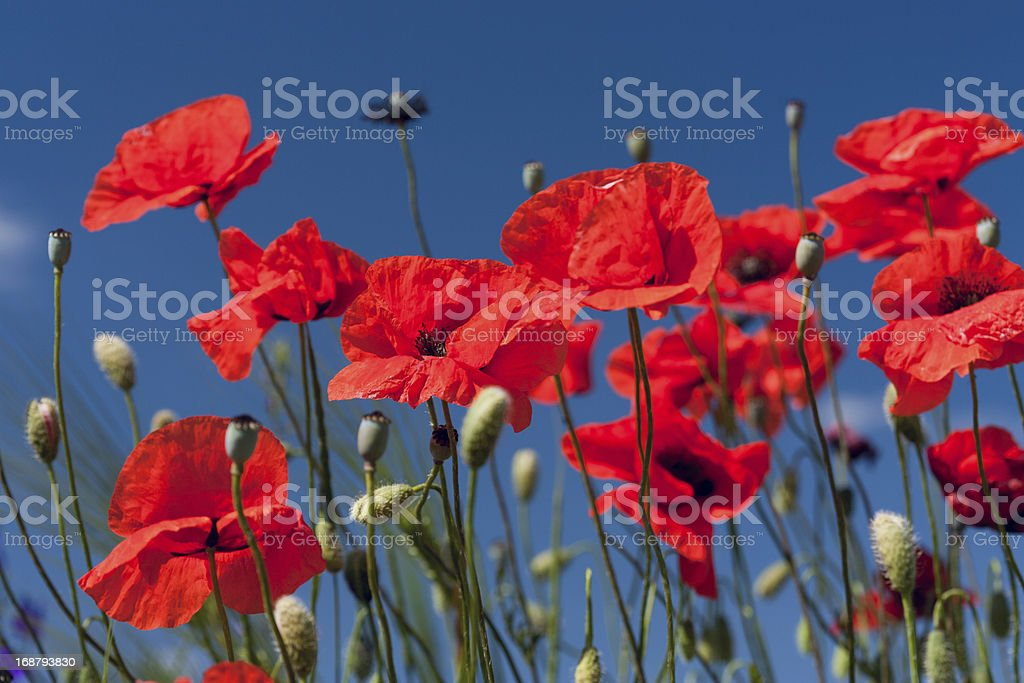 Red meadow poppies stock photo