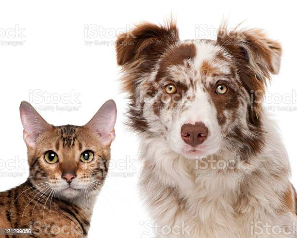 Red merle border collie and a bengal cat white background picture id121299056?b=1&k=6&m=121299056&s=612x612&h=pfdkuof8jk4zp0ypob2djraknmbadgcte8tf7m09ti4=