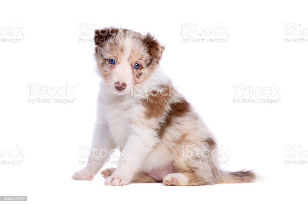 Red Merle Border Collie Puppy Stock Photo Download Image Now Istock