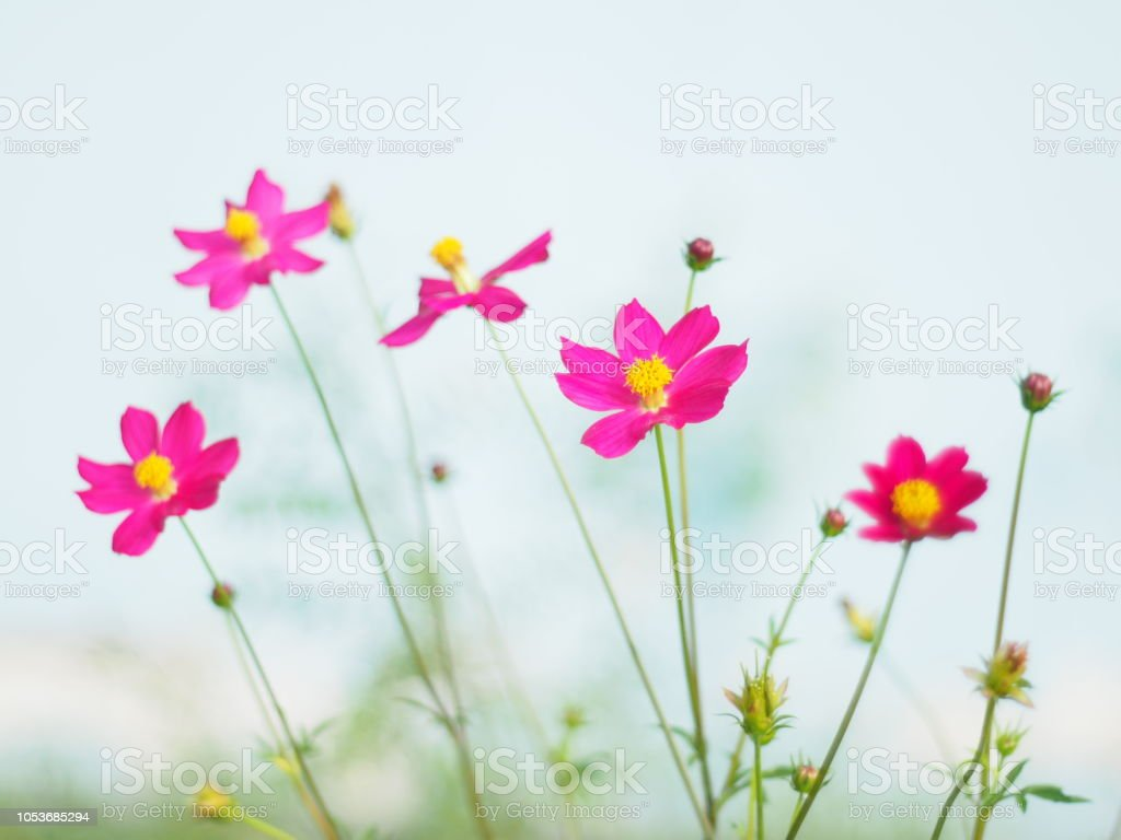 Aster Flower Scientific Name Best Flower Wallpaper