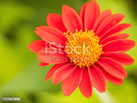 Red Mexican sunflower (Tithonia rotundifolia) is a species of flowering plant in the Asteraceae family on nature blurred background.