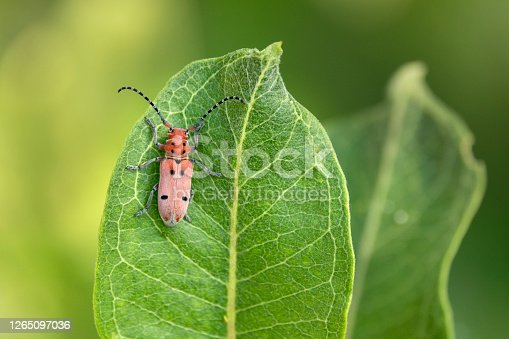 Eating the leaves on a milkweed plant, a red milkweed beetle stands out against the green color in Denver Colorado.