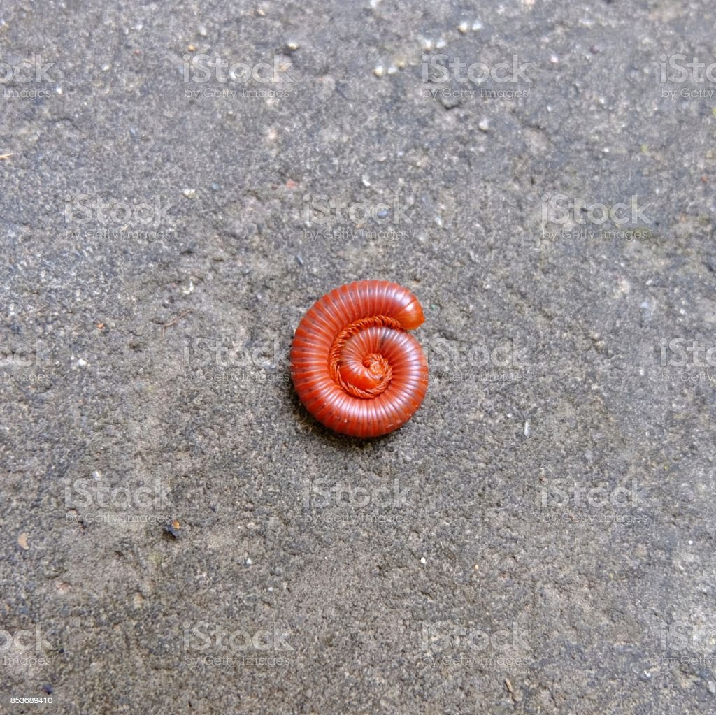 red millipede on the floor. It self protection from danger. stock photo