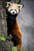 Cute baby red panda standing with bamboo in paw on blue circle background