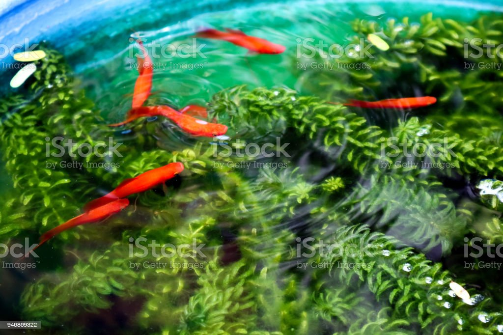 red Molly, Moonfish swim between green weed in fish tank stock photo