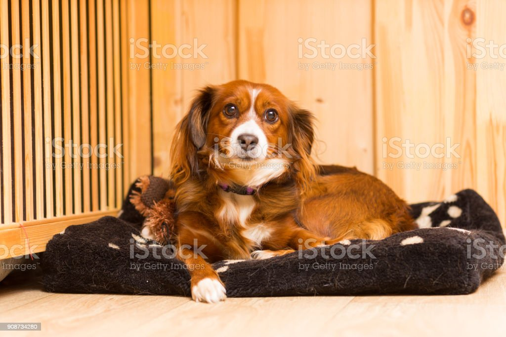 Red mongrel dog lies on his stove stock photo