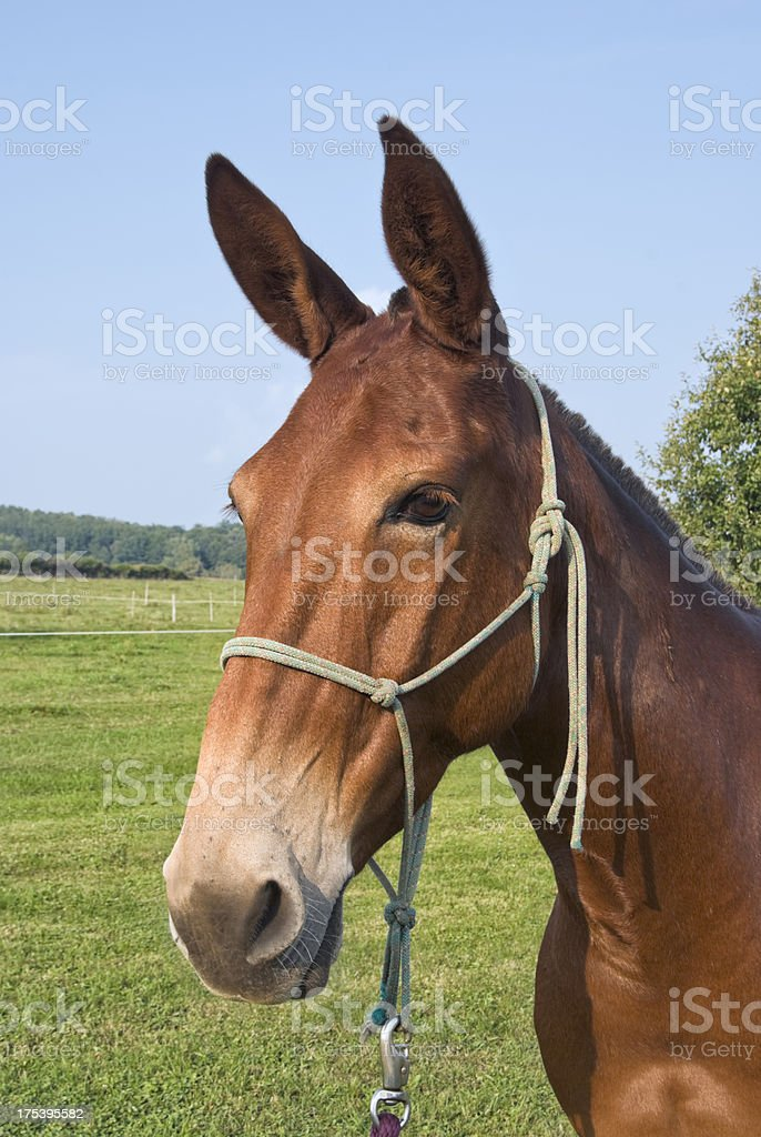 Red Mule with Long Ears Head Shot royalty-free stock photo