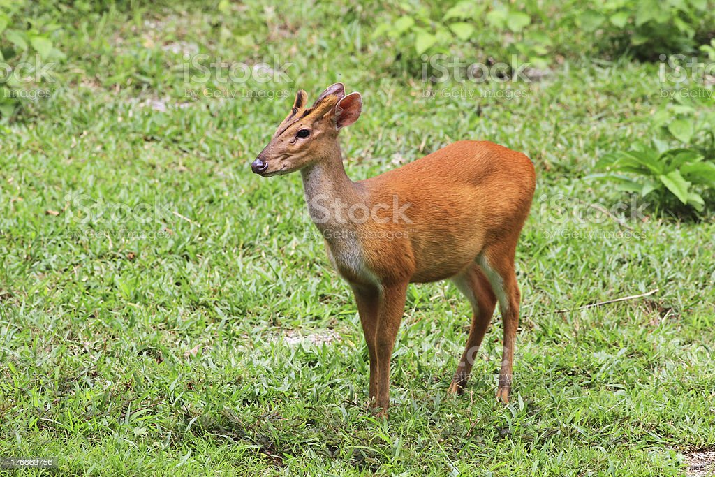 red Muntjac Deer royalty-free stock photo