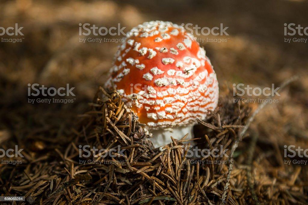 Red mushroom (Amanita Muscaria) in underwood stock photo
