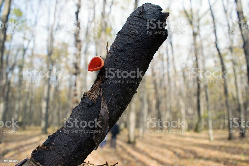 Red Mushroom on Tree, Fall Background, Autumn foto stock royalty-free
