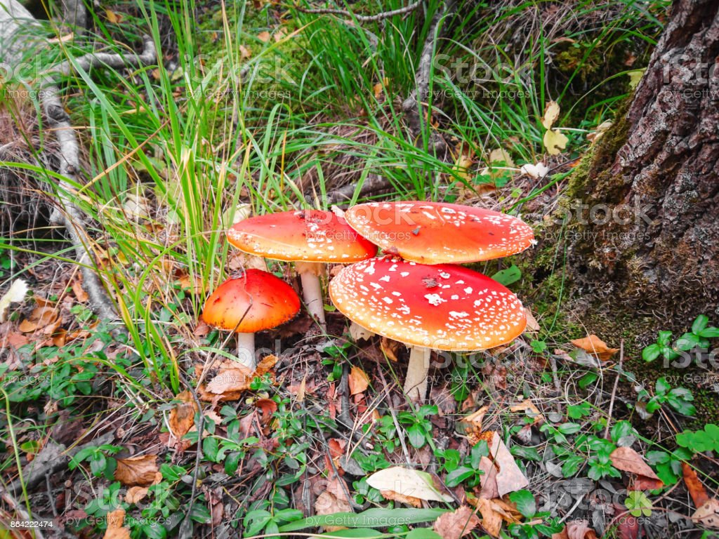 red mushrooms fly agaric in the forest near a tree and green grass royalty-free stock photo