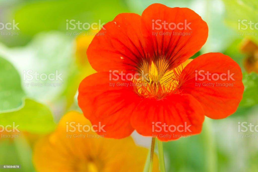 Red nasturtium stock photo
