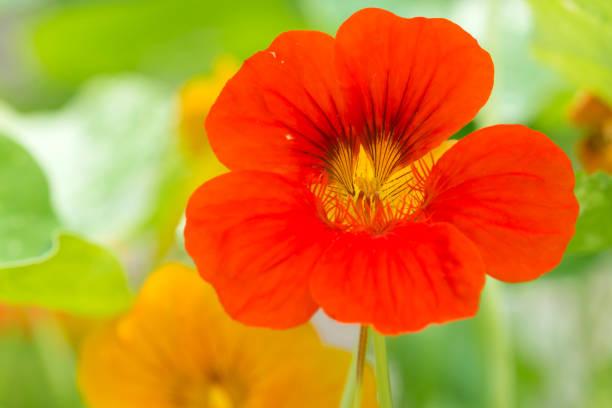 red nasturtium - nasturtium stock photos and pictures