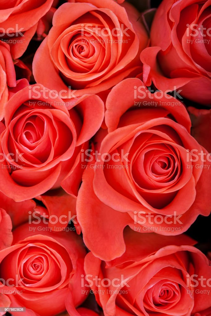Red natural roses background close up stock photo