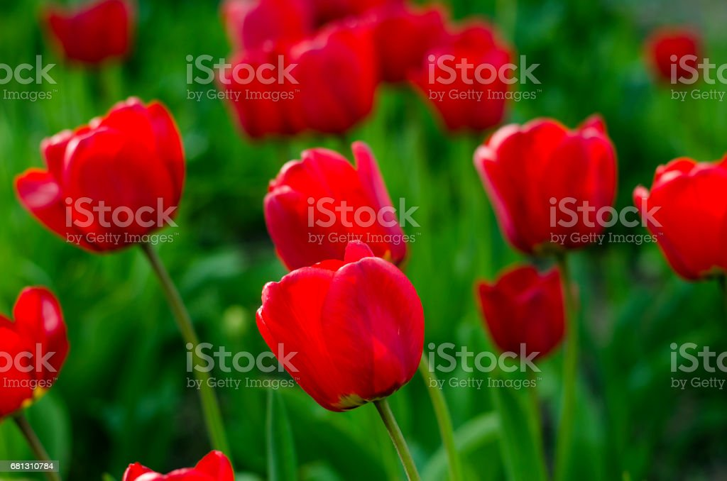 Red natural tulips royalty-free stock photo