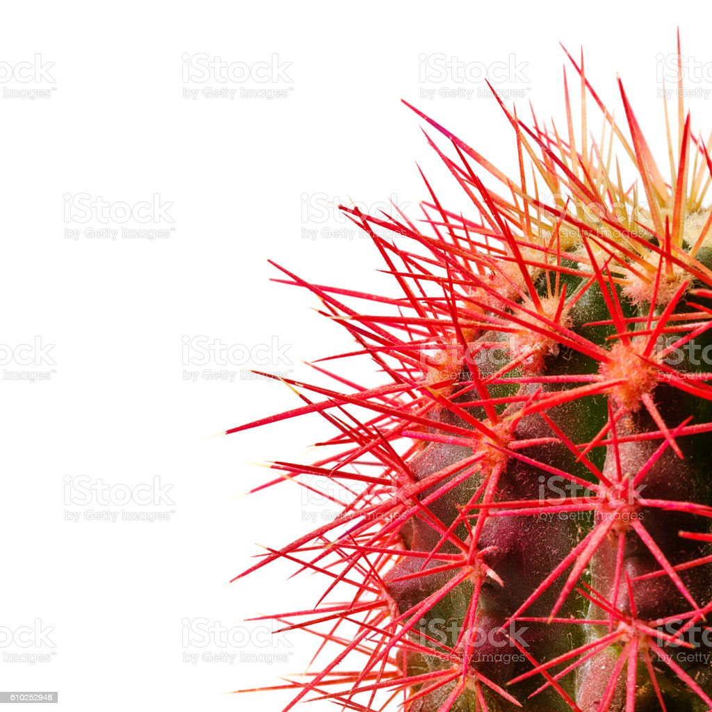 Red needles of green cactus on white background stock photo