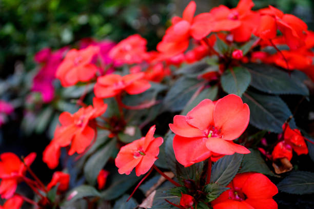 Red New Guinea impatiens flower in pots stock photo
