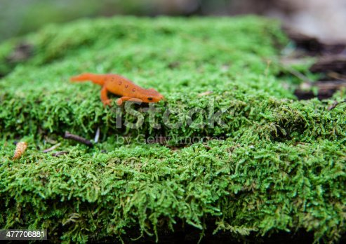 Eastern Newt on the green moss