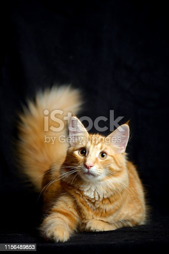 A red young norwegian forest cat is resting, studio shot on black background
