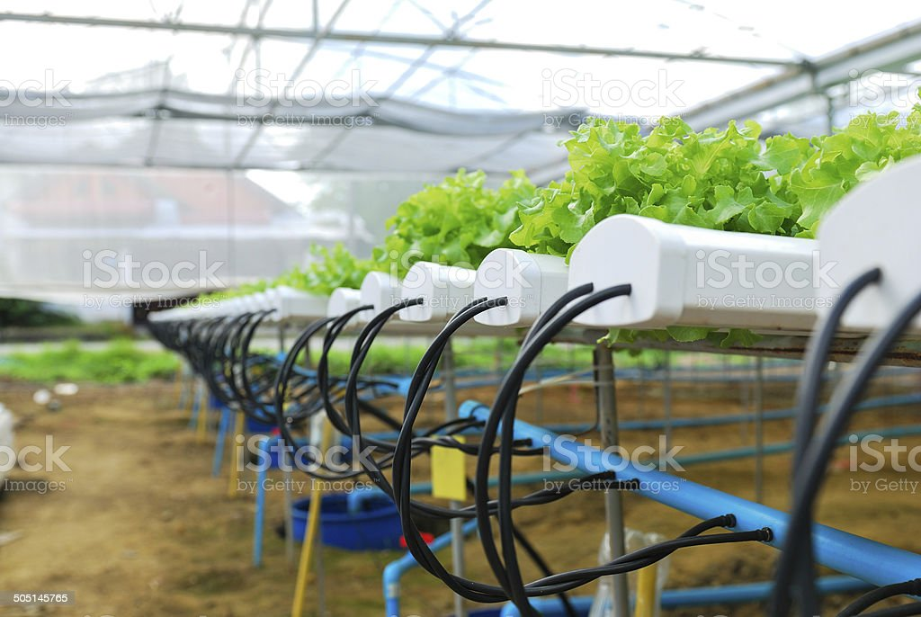 Red oak, green oak, cultivation hydroponics green vegetable in f stock photo