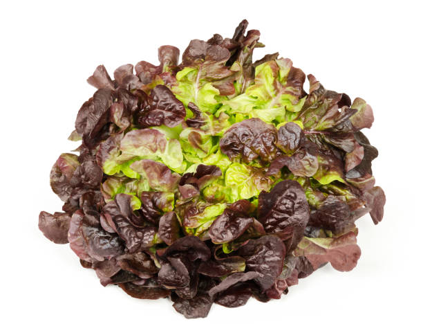 Red oak leaf lettuce front view over white Red oak leaf lettuce front view isolated over white. Also called oakleaf, a variety of Lactuca sativa. Red butter lettuce with distinctly lobed leaves with oak leaf shape. Macro closeup photo. butterhead lettuce stock pictures, royalty-free photos & images