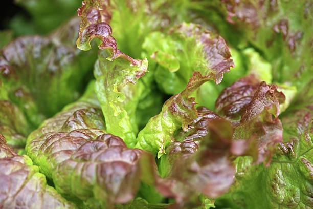 Red oak leaf lettuce Red oak leaf lettuce butterhead lettuce stock pictures, royalty-free photos & images