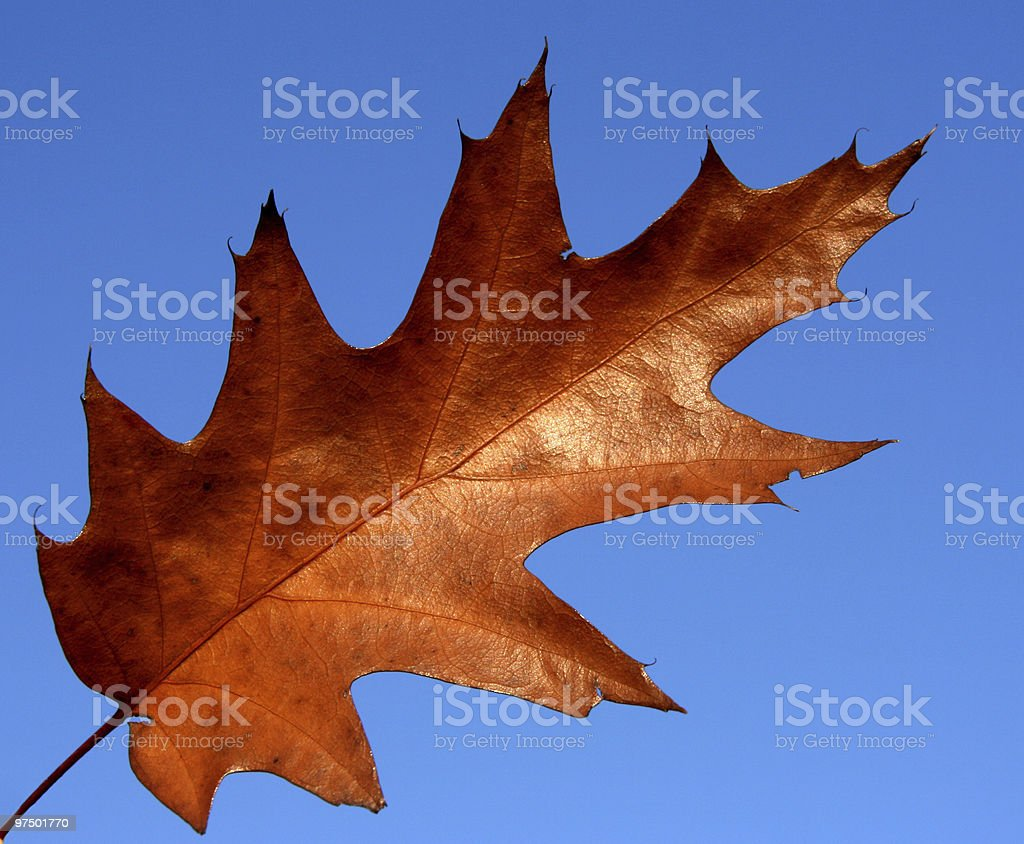 Red oak leaf royalty-free stock photo