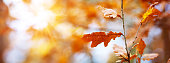 Red oak leaves in autumn with beautiful sunlight. Autumnal foliage with blurry background