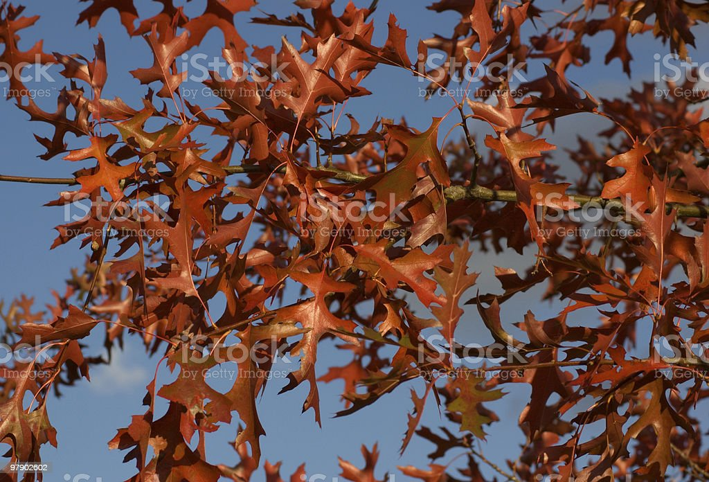 Red oak leaves royalty-free stock photo