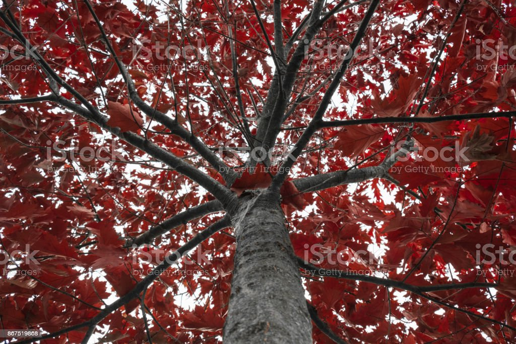 Red oak treetop covered in red autumn leaves stock photo