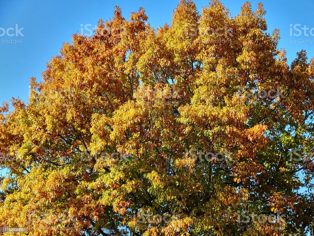 Red Oak . Yellow and green oak leaves on the oak crown against the...