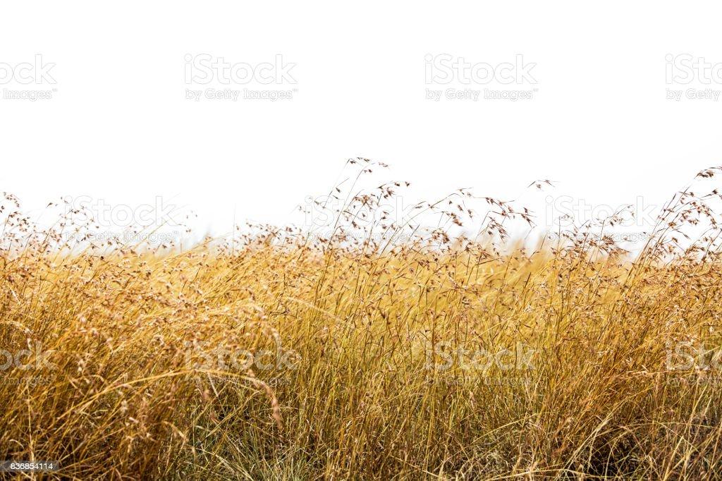 Hierba de avena roja aislada - foto de stock