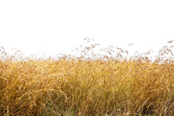 herbe d'avoine rouge isolé - élevé photos et images de collection