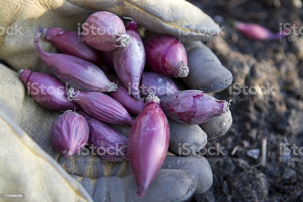 Red Onion Sets royalty-free stock photo