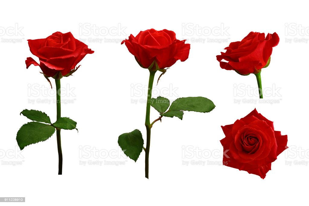 Red or scarlet roses with green leaves. Isolated, white background. stock photo