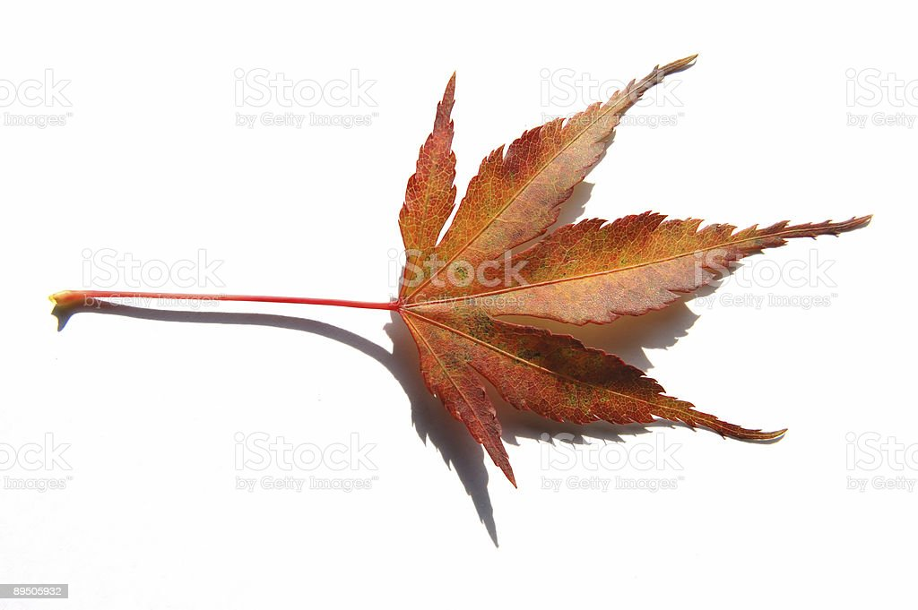 Red orange acer leaf isolated on white background with shadow royalty-free stock photo