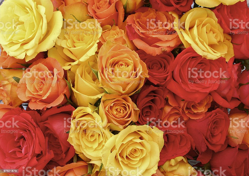 red, orange and yellow roses royalty-free stock photo