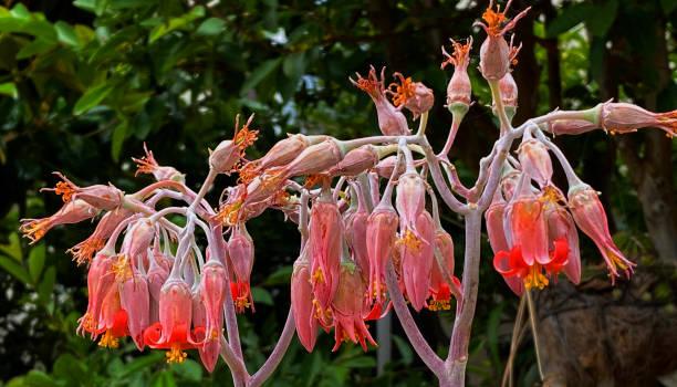 Red Orange Cactus Blooms stock photo