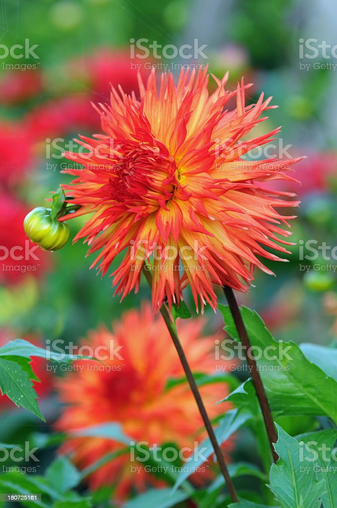 red orange dahlia royalty-free stock photo