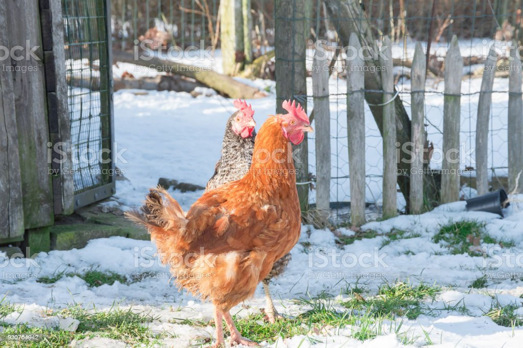 Red Orange Hen Eating Grass In Winter Stock Photo More Pictures Of