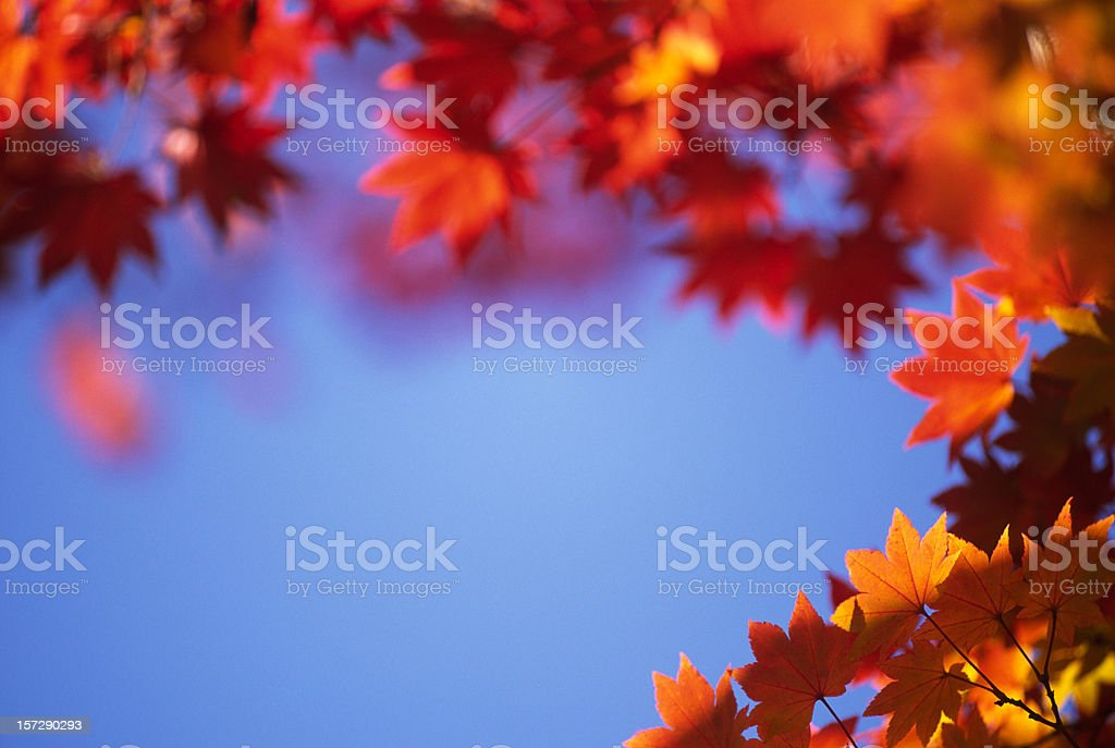Red & orange leaves against the blue sky royalty-free stock photo