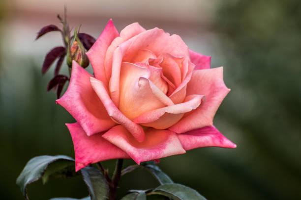 Red Orange Rose Bloom