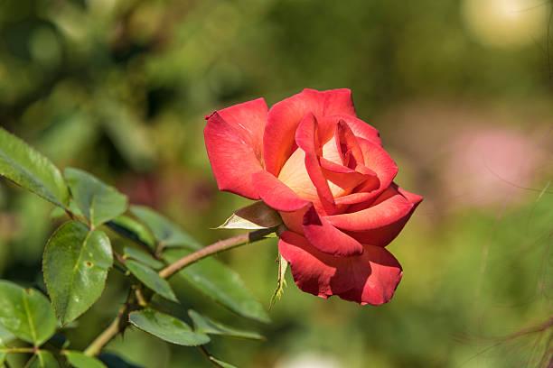 Red Orange Yellow Rose stock photo