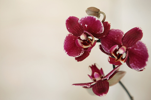 Red Orchid flower on white background