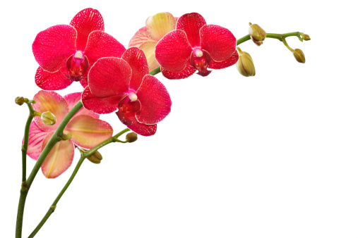 Hybrid red phalaenopsis orchid isolated on white.SEE ALL of my ORCHIDS HERE: