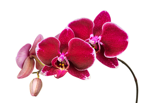 Red orchid flowers isolated on a white background