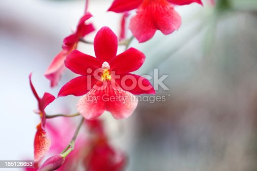 Red orchid in an orchid garden.