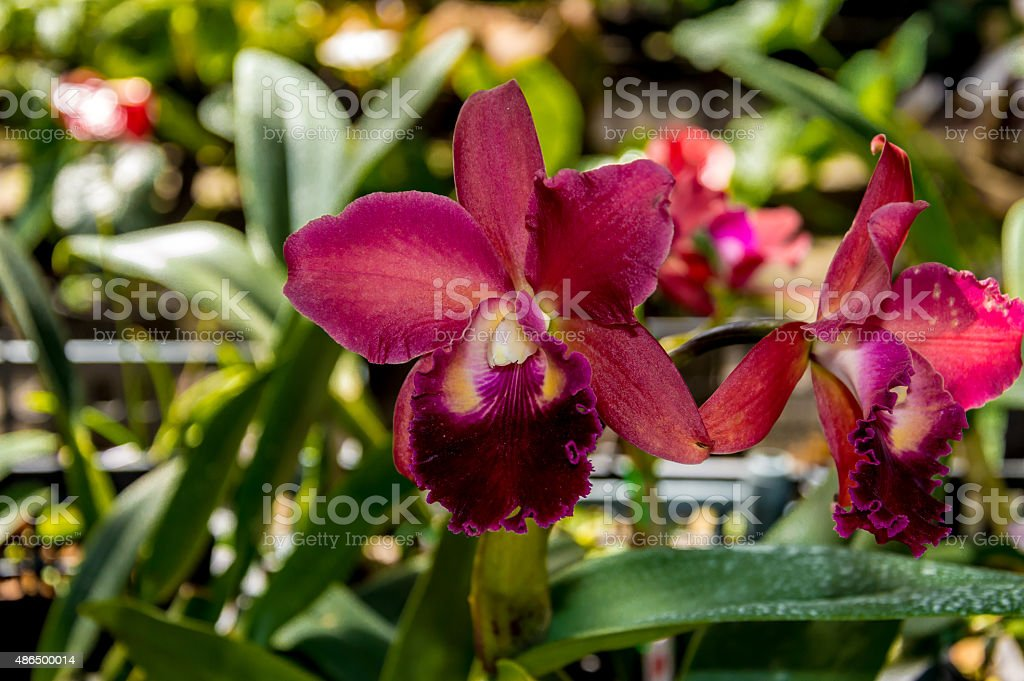 Red orchid – Foto