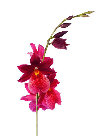 Red orchid isolated on a white background