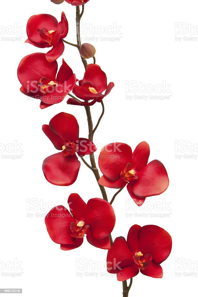 Red orchid royalty-free stock photo